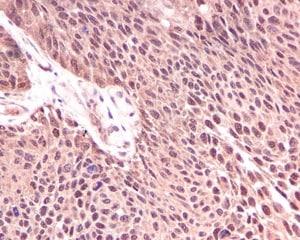 Immunohistochemistry (Formalin/PFA-fixed paraffin-embedded sections) - Anti-KIFAP3 antibody [EPR5599] (ab109026)