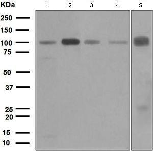 Western blot - Anti-KIFAP3 antibody [EPR5599] (ab109026)