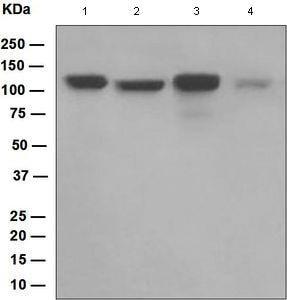 Western blot - Anti-DDB1 antibody [EPR6089] (ab109027)