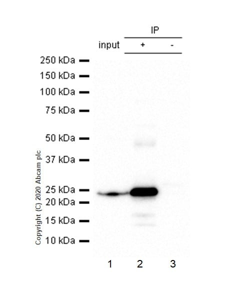 Immunoprecipitation - Anti-HP1 alpha antibody [EPR5777] - Heterochromatin marker (ab109028)