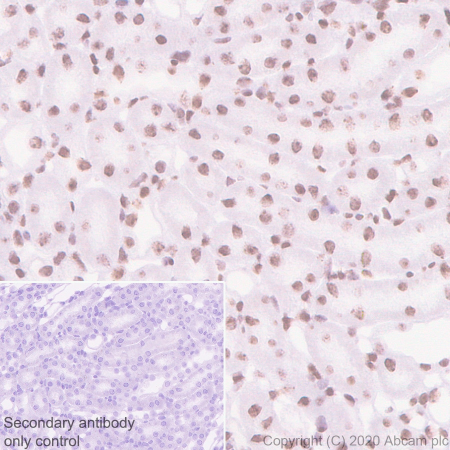 Immunohistochemistry (Formalin/PFA-fixed paraffin-embedded sections) - Anti-HP1 alpha antibody [EPR5777] - Heterochromatin marker (ab109028)