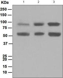 Western blot - Anti-DCAMKL1 antibody [EPR6085] (ab109029)