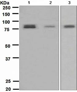 Western blot - Anti-TORC2 antibody [EPR3384(2)] (ab109081)