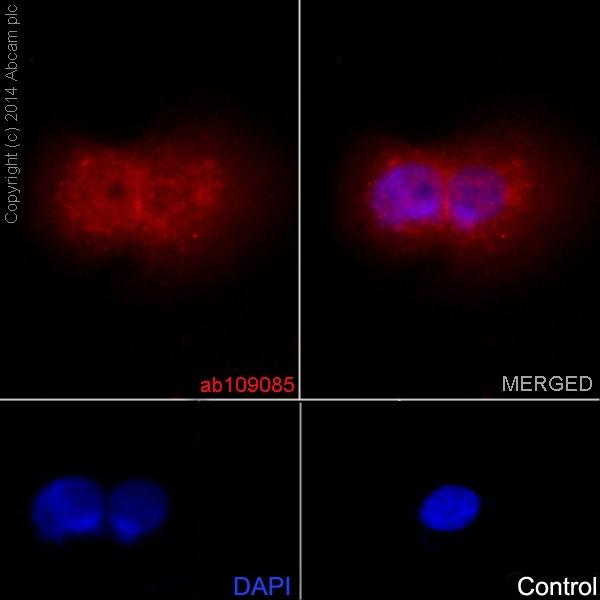 Immunocytochemistry/ Immunofluorescence - Anti-STAT3 antibody [EPR361] (ab109085)