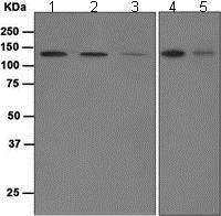 Western blot - Anti-Munc 13-4 antibody [EPR4914] (ab109113)