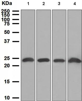 Western blot - Anti-PTP4A2/PRL2 antibody [EPR3800] (ab109118)
