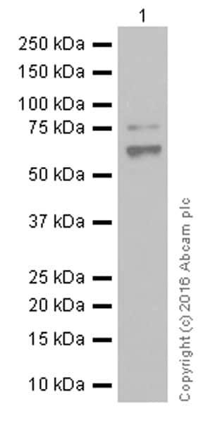Western blot - Anti-NUR77 antibody [EPR3209] (ab109180)