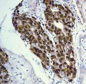 Immunohistochemistry (Formalin/PFA-fixed paraffin-embedded sections) - Anti-Oct4 antibody [EPR2054] (ab109183)