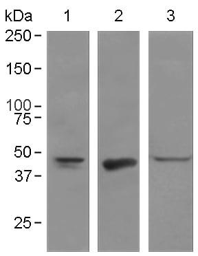Western blot - Anti-Oct4 antibody [EPR2054] (ab109183)