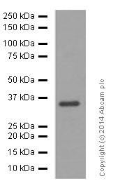 Western blot - Anti-Olig2 antibody [EPR2673] (ab109186)