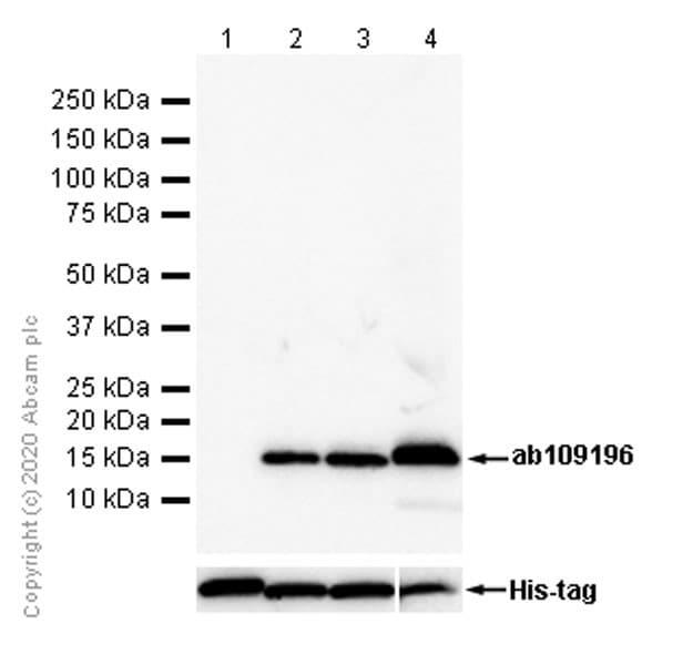 Western blot - Anti-Sumo 2 + Sumo 3 + Sumo 4 antibody [EPR300(2)] (ab109196)