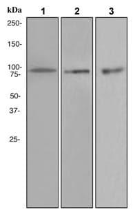 Western blot - Anti-VCP antibody [EPR3308] (ab109198)