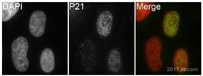 Immunocytochemistry/ Immunofluorescence - Anti-p21 antibody [EPR3993] (ab109199)
