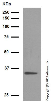 Western blot - Anti-Wnt2/IRP antibody [EPR3101(2)] (ab109222)