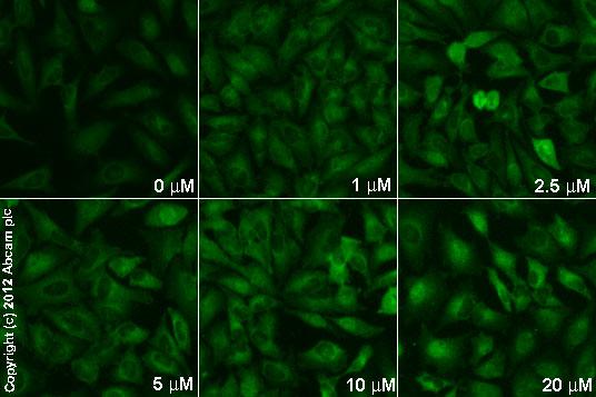Immunocytochemistry/ Immunofluorescence - Anti-NADPH oxidase 4 antibody [UOTR1B492] (ab109225)