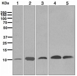 Western blot - Anti-UBA52 antibody [EPR4547] (ab109230)