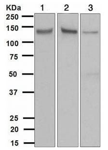 Western blot - Anti-TYRO3 antibody [EPR4308] (ab109231)