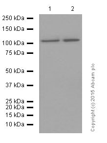 Western blot - Anti-USP11 antibody [EPR4346] (ab109232)