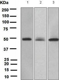 Western blot - Anti-PAX6 antibody [EPR3352(2)] (ab109233)