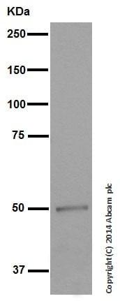 Western blot - Anti-Vitamin D Receptor antibody [EPR4552] - ChIP Grade (ab109234)