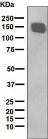 Western blot - Anti-Xanthine Oxidase antibody [EPR4605] (ab109235)