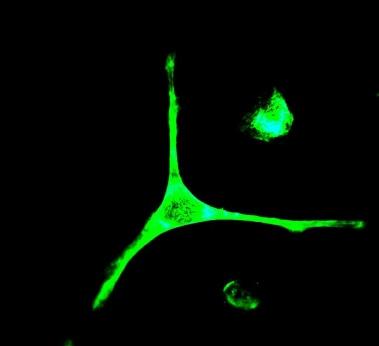 Immunocytochemistry/ Immunofluorescence - Anti-Nck-2 antibody [EPR3333] (ab109239)
