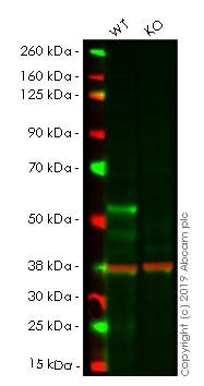 Western blot - Anti-GATA2 antibody [EPR2822(2)] (ab109241)