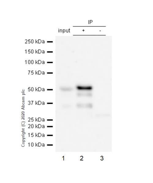 Immunoprecipitation - Anti-GATA2 antibody [EPR2822(2)] (ab109241)
