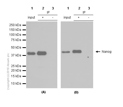 Immunoprecipitation - Anti-Nanog antibody [EPR2027(2)] (ab109250)