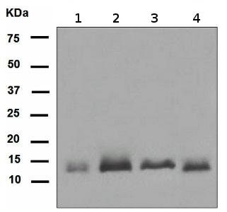 Western blot - Anti-S100 Calcium Binding Protein A13/S100A13 antibody [EPR4510] (ab109252)