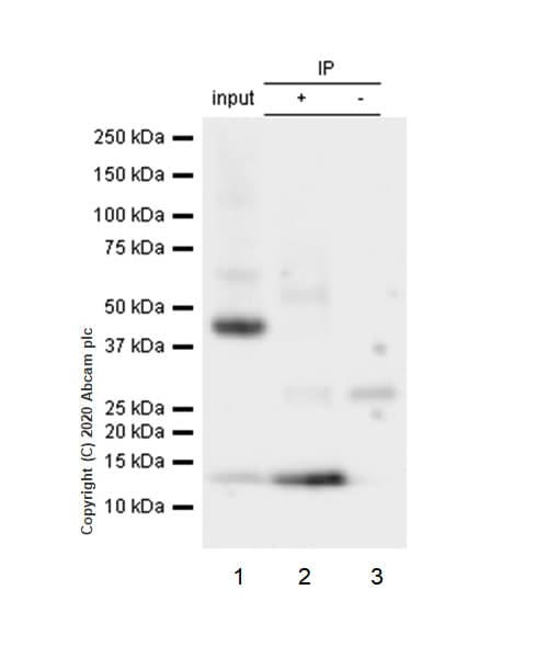 Immunoprecipitation - Anti-S100 Calcium Binding Protein A13/S100A13 antibody [EPR4510] (ab109252)