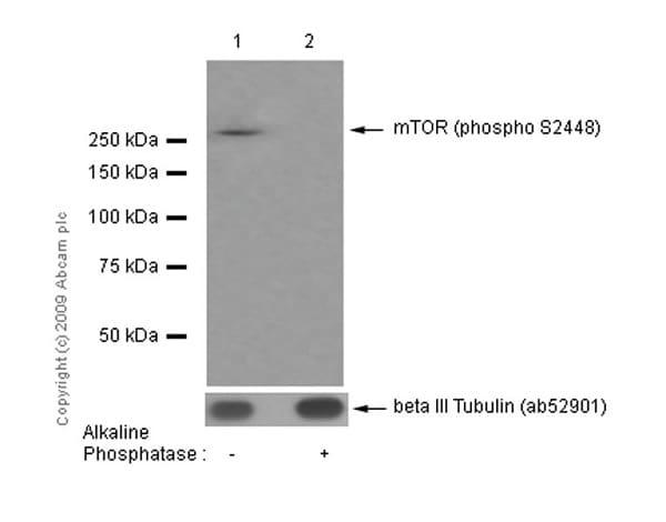 Western blot - Anti-mTOR (phospho S2448) antibody [EPR426(2)] (ab109268)