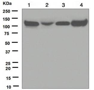 Western blot - Anti-KAP1 antibody [EPR5216] (ab109287)