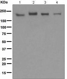Western blot - Anti-IQGAP1 antibody [EPR5221] (ab109292)