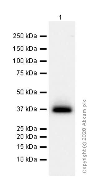 Western blot - Anti-CD7 antibody [EPR4242] (ab109296)