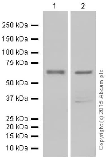 Western blot - Anti-TR4 antibody [EPR1773(2)] (ab109301)
