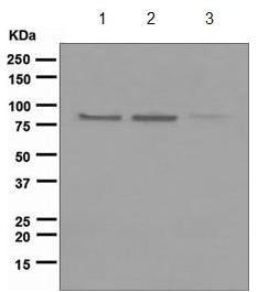 Western blot - Anti-Axin 2 antibody [EPR2005(2)] (ab109307)