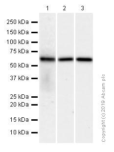 Western blot - Anti-EHD1 antibody [EPR4954] (ab109311)