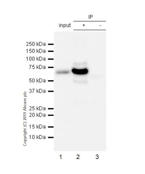 Immunoprecipitation - Anti-EHD1 antibody [EPR4954] (ab109311)
