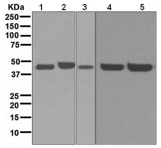 Western blot - Anti-TBX1 antibody [EPR3289(2)] (ab109313)