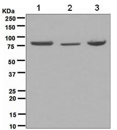 Western blot - Anti-Zyxin antibody [EPR4302] (ab109316)