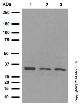 Western blot - Anti-BNIP3 antibody [EPR4034] (ab109362)