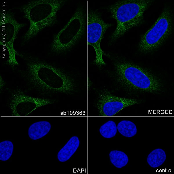 Immunocytochemistry/ Immunofluorescence - Anti-RENT1/hUPF1 antibody [EPR4681] (ab109363)