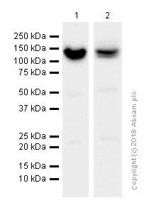 Western blot - Anti-RENT1/hUPF1 antibody [EPR4681] (ab109363)