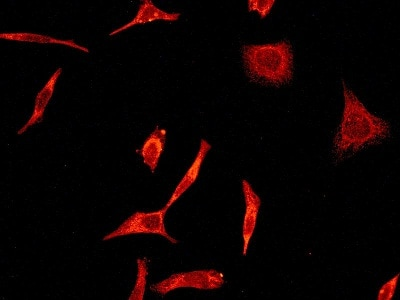 Immunocytochemistry/ Immunofluorescence - Anti-Peroxiredoxin 2/PRP antibody [EPR5154] (ab109367)
