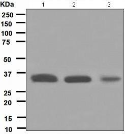 Western blot - Anti-HUS1 antibody [EPR5132] (ab109371)
