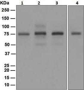 Western blot - Anti-PIAS1 antibody [EPR2580(2)] (ab109388)