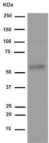 Western blot - Anti-Tau (phospho S396) antibody [EPR2731] (ab109390)