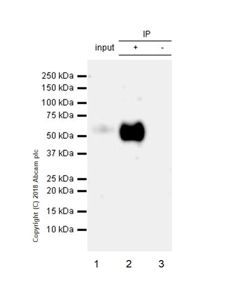 Immunoprecipitation - Anti-Tau (phospho S396) antibody [EPR2731] (ab109390)