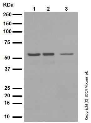 Western blot - Anti-p53 (acetyl K305) antibody [EPR354(3)] (ab109396)